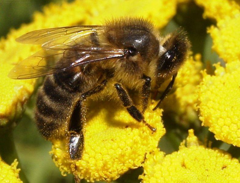 786px-HoneyBee.jpg