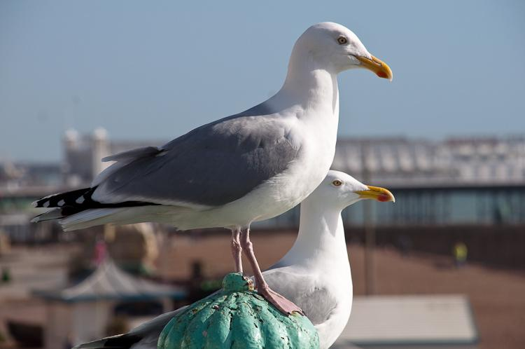 Seagulls - these ones are still alive as far as I know