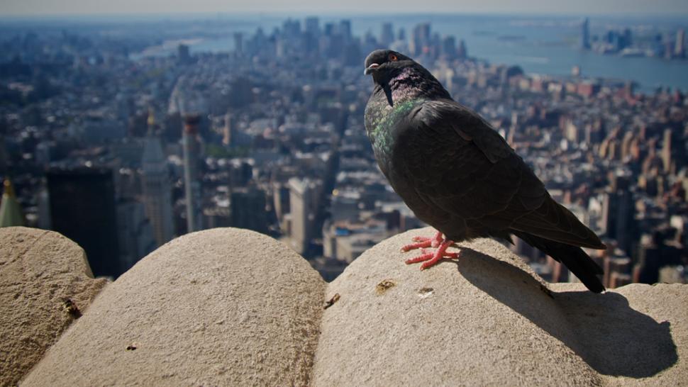 Pigeon (copyright Simon MacMichael).jpg