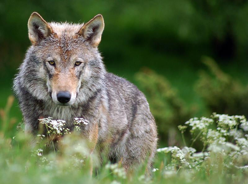 wolf (copyright fremlin via Flickr CC licensed)