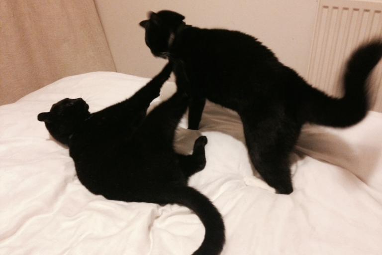 Cats fighting (copyright Simon MacMichael).jpg