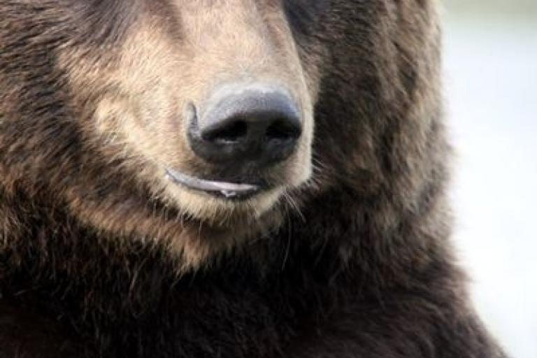 Grizzly Bear Alaska.jpg
