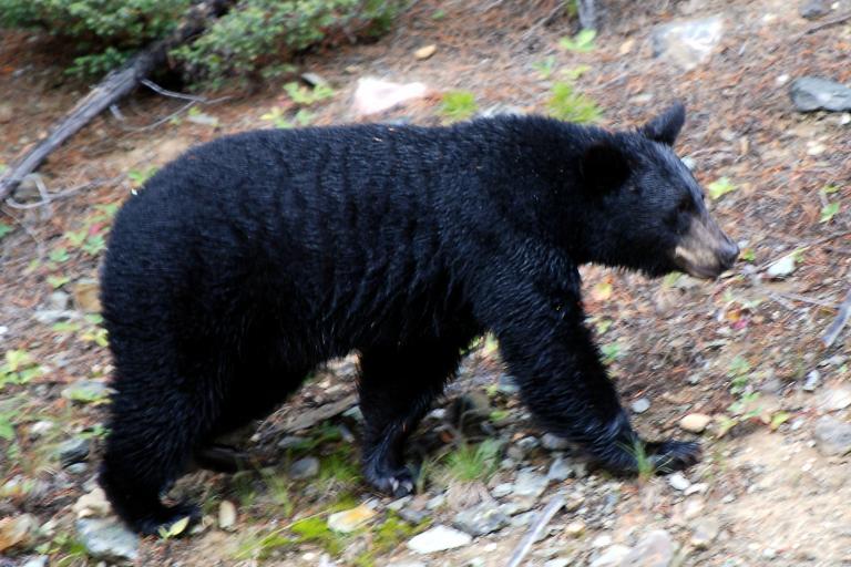 Black bear pic courtesy H Barrison.jpg