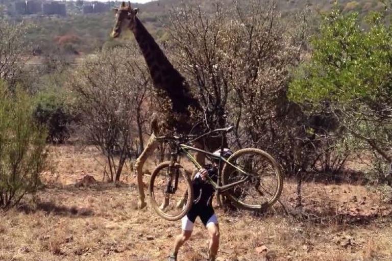 Giraffe chasing bike rider in 2013 YouTube still