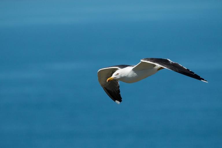 Lesser black-backed gull (CC licensed by James West via Flickr)