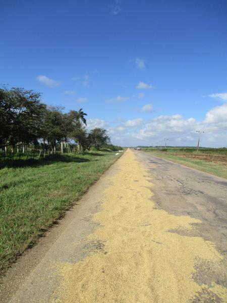 Rice drying on the road.jpg