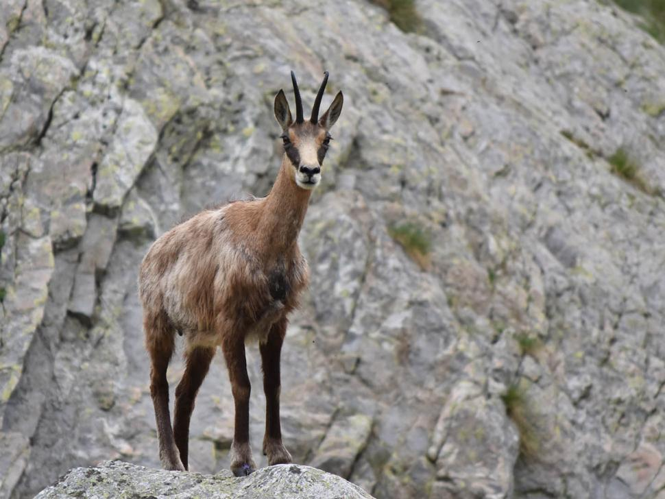 Chamois goat (CC BY 2.0 Jean Latour | Flickr).jpg