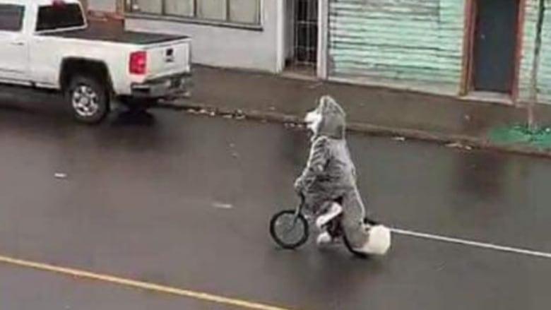 Cycling husky