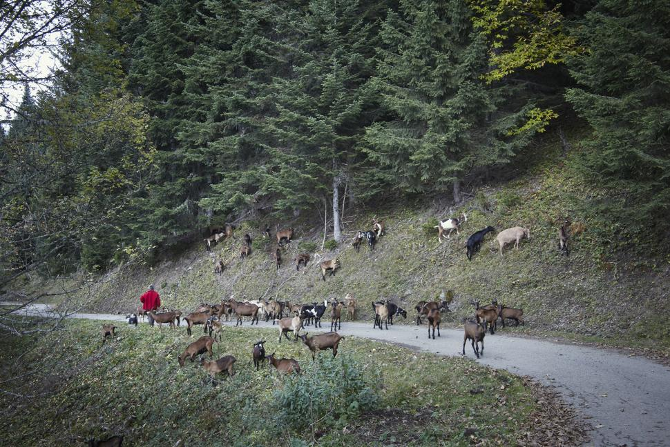 Great Cycling Climbs - Herd of goats on the road near Albertville copyright 2019 Peter Drinkell.jpg