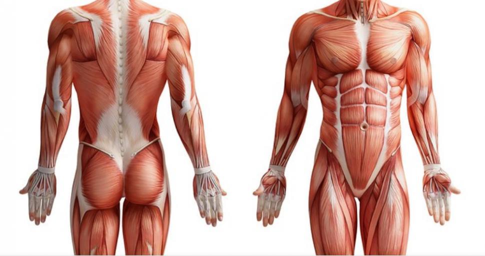 anatomia humana. PNG