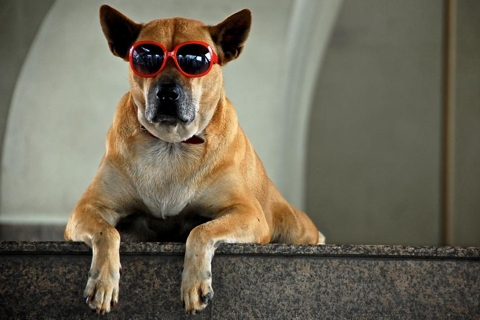 Cool dog in red sunnies (CC BY-SA 2.0 Rollan Budi:Flickr)