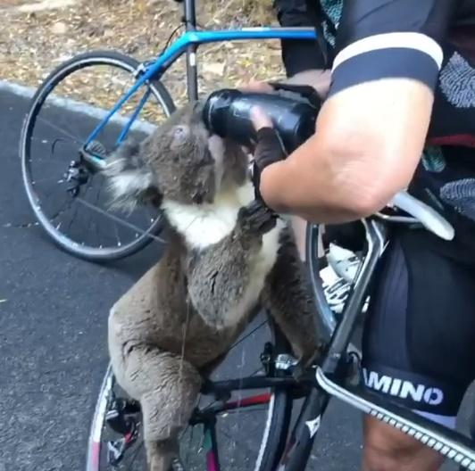 Note: Koala approaches cyclists to drink from a bottle of water