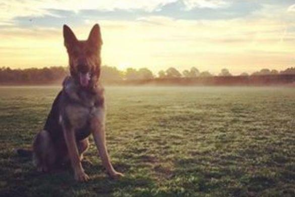 Police Dog Layla (picture by Norfolk Police on Instagram).JPG