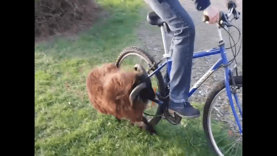 Ram charges cyclist
