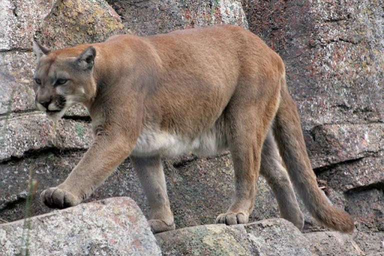 cougar_licensed_cc_by_2.0_on_flickr_by_tony_hisgett.jpg