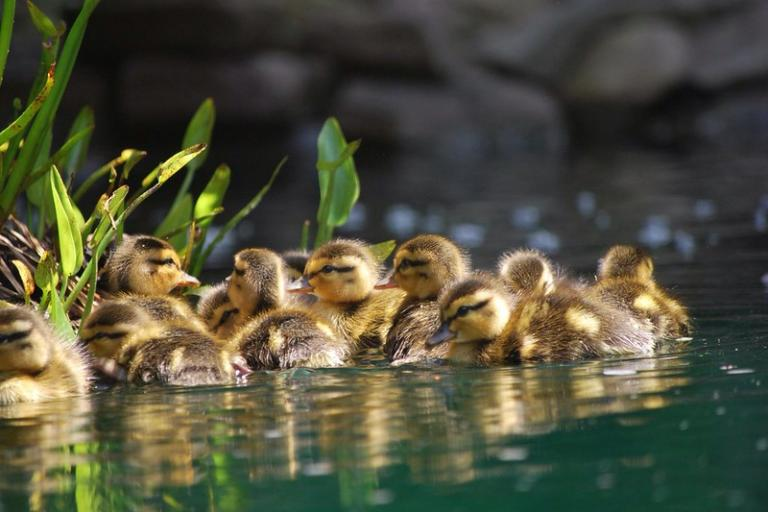 Ducklings (licensed on Creative Commons by Michele Dorsey Walfred)