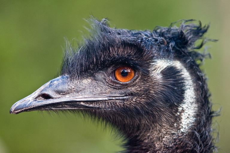 Emu - Photo by DAVID ILIFF. License CC-BY-SA 3.0.jpg
