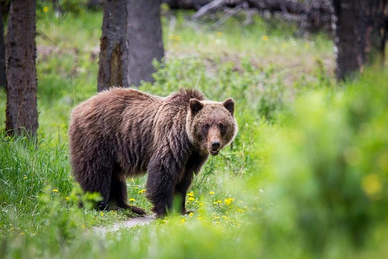 Grizzly bear (licensed CC BY SA 4.0 by Dwayne_Reilander)