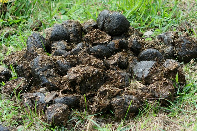 Horse dung.jpg