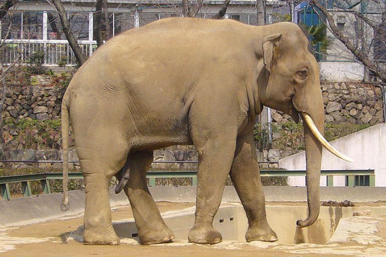 Indian Elephant (copyright 663Highland).jpg