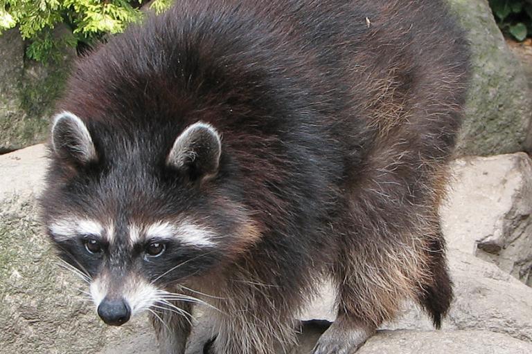 A totally innocent racoon.jpg