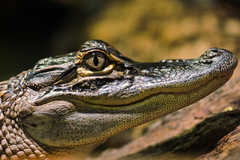 Alligator Tambako Flickr Creative Commons