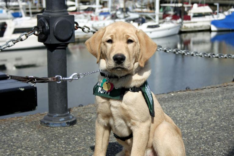 Guide dog in training (CC BY-ND 2.0 licenced by Jay-P:Flickr)