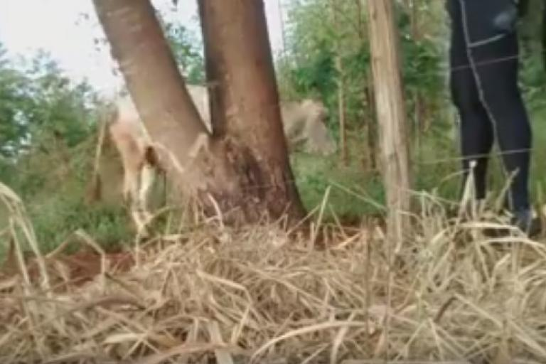 Liberated cow (taken from Facebook video).jpg