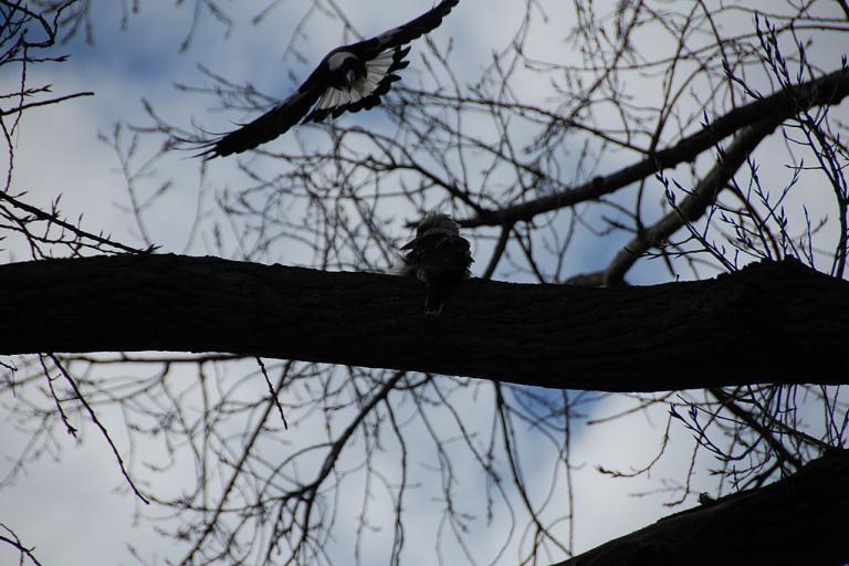 Magpie_swooping_kookaburra