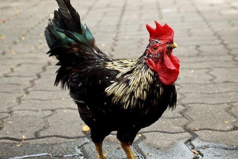 Thai chicken (CC licensed by y2bd via Flickr).jpg